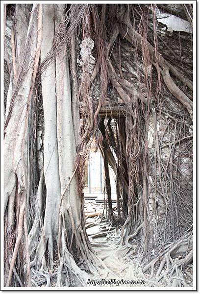 老樹根中的小門