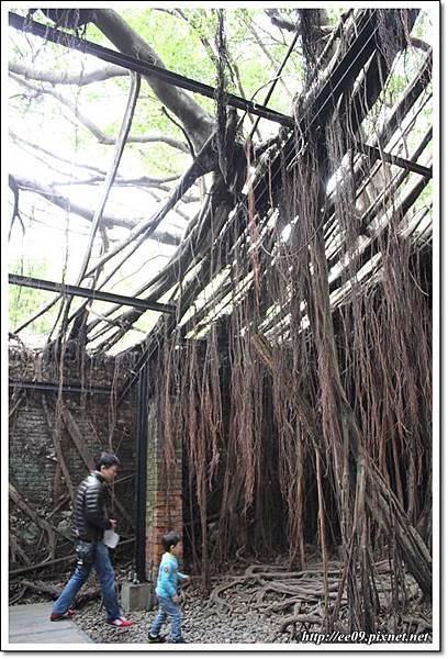 處處有老樹根-1