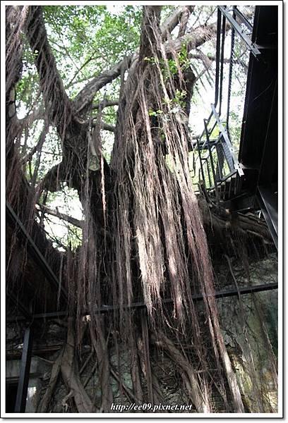 處處有老樹根-3