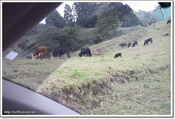 EE拍的車外的牛.JPG