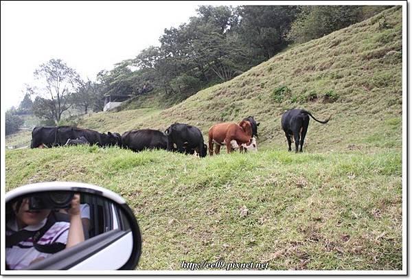 近看牛.JPG