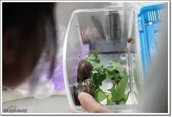 飼養箱內的蝸牛.JPG
