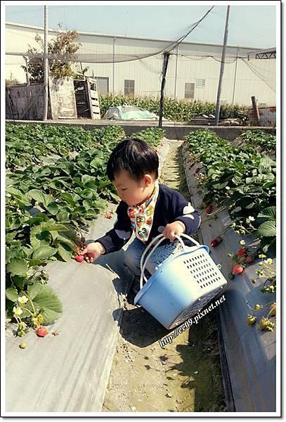 乖乖看草莓.jpg