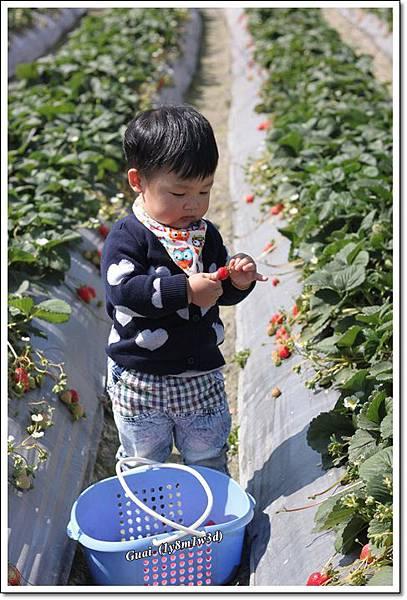 乖乖看草莓好奇.JPG