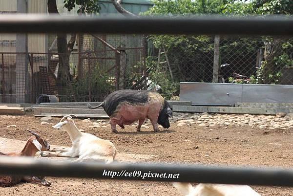 有豬.JPG