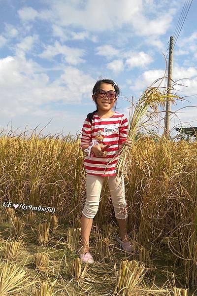 2015割稻
