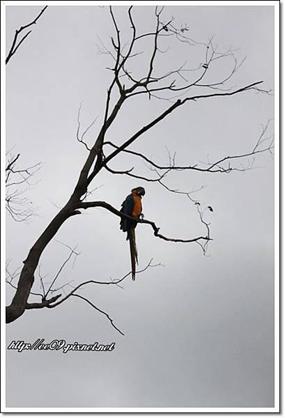 空中樹上鸚鵡.JPG