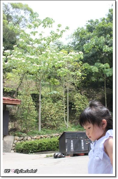 後頭的油桐花.jpg