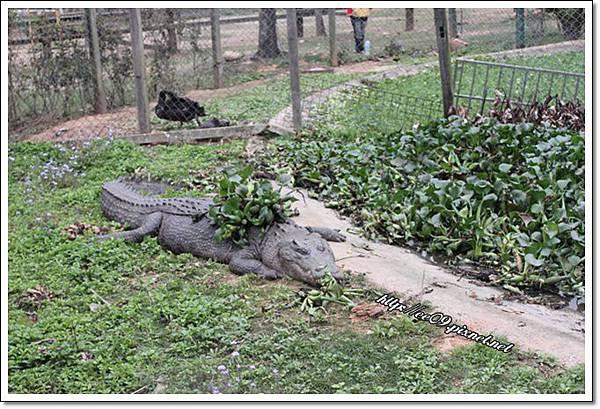 動也不動的鱷魚.JPG