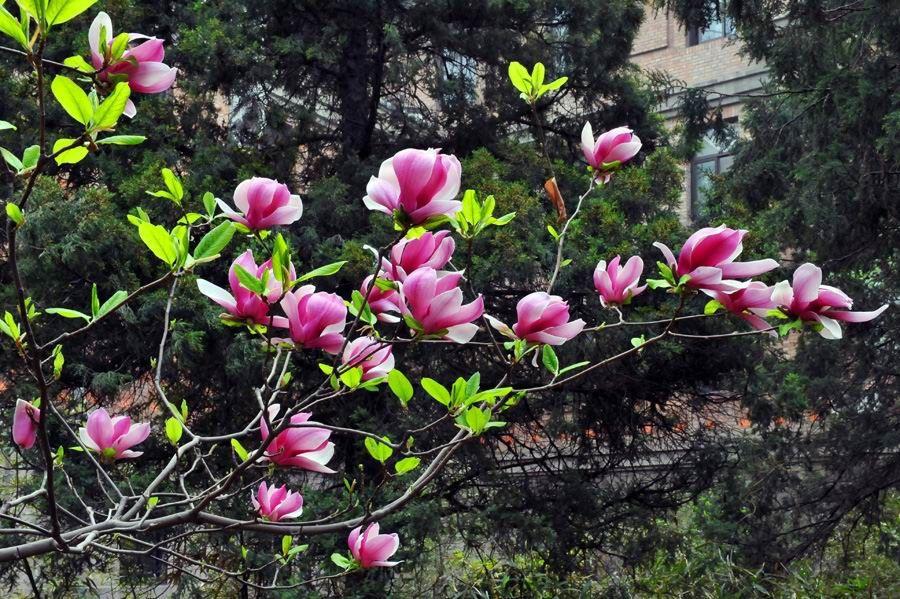 春天開花的樹-2.jpg