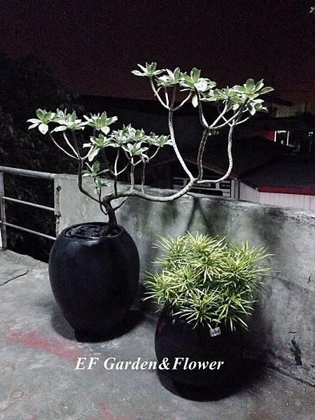 白水木VS.五爪千年木