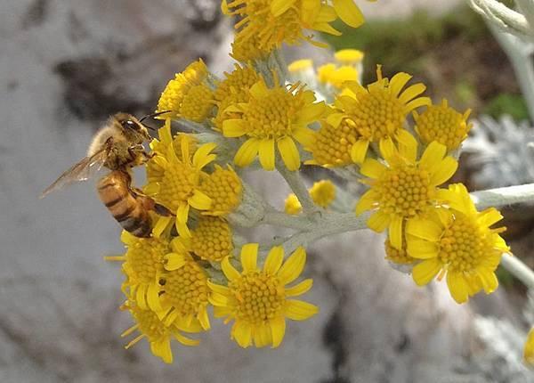 0523蜂花粉.jpg