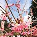 阿里山石棹櫻花