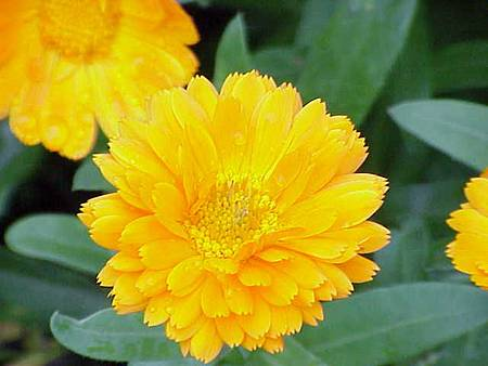 Calendula_officinalis1.jpg