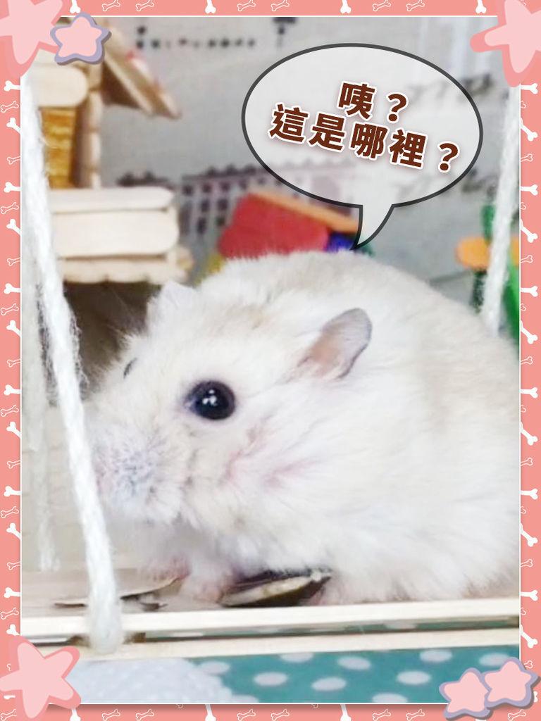DIY_手作_寵物_倉鼠24.jpg
