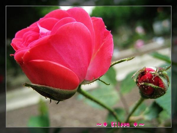 官邸玫瑰119.jpg