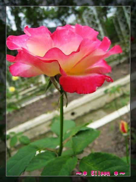 官邸玫瑰157.jpg
