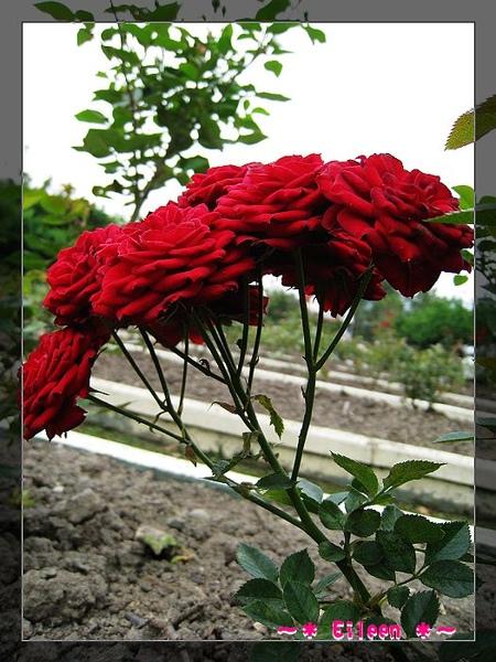 官邸玫瑰170.jpg