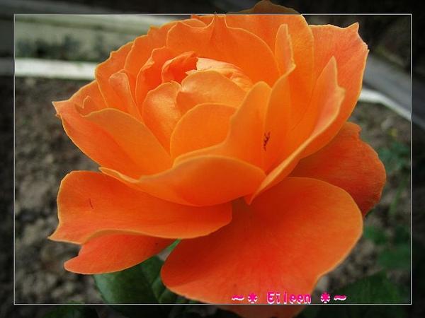 官邸玫瑰197.jpg