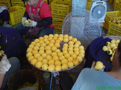 削好皮後的柿子躺在網籃上