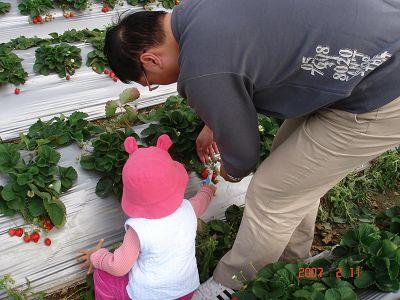 小小妞和把拔一起採草莓