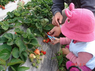 把拔幫我拿好草莓~我要剪囉!!