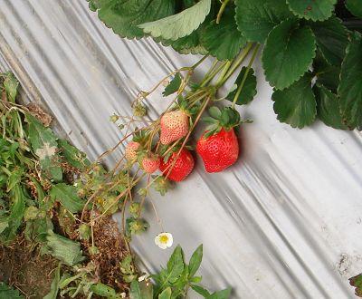有草莓也有草莓花唷