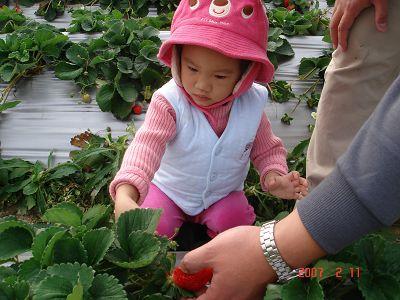 專心剪草莓