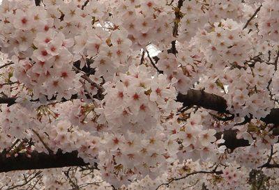 近拍上野公園櫻花