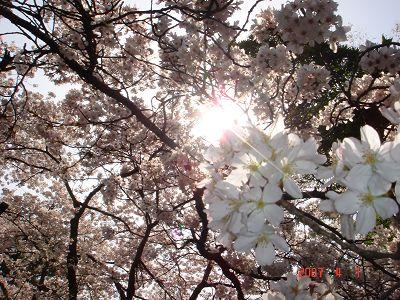 拍到十字陽光的櫻花