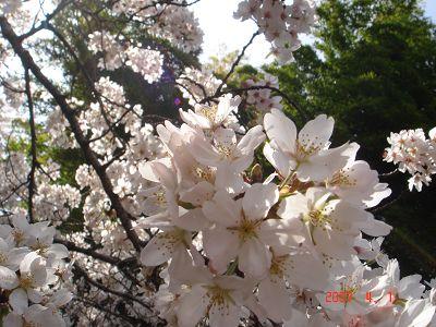 在陽光裡外的櫻花2