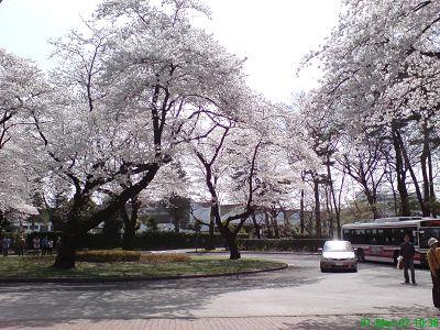 ICU內圓環的櫻花2