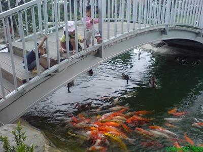 鯉魚&綠頭鴨搶食