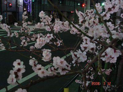 回旅館途中看見盛開的梅花