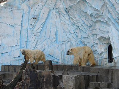 動物園內的北極熊