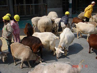 成群的綿羊爭食