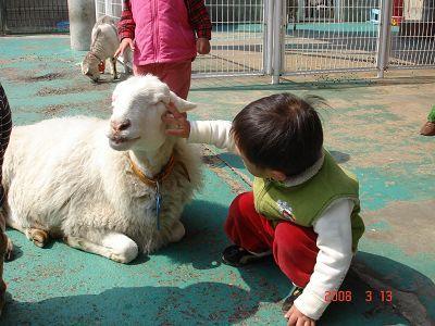 摸摸溫馴的綿羊