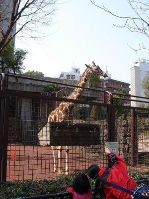 動物園內的長頸鹿