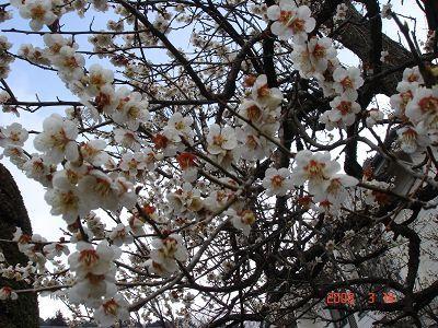 高尾山的梅花