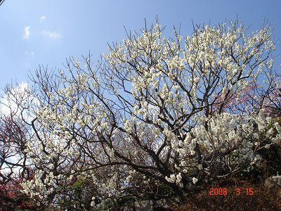 白色梅花也很美