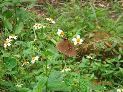 採蜜中的蝴蝶