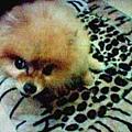 買給她時下最流行豹紋睡墊