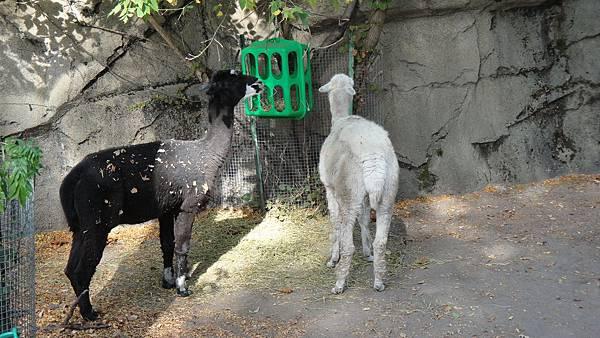 DSC01111駱馬 羊駝 還是草泥馬