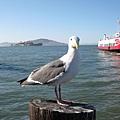 漁人碼頭給海鷗看