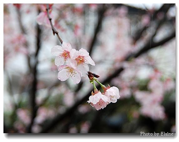 2012天元宮櫻花13