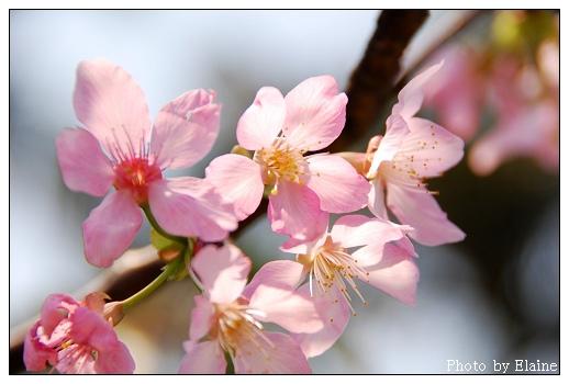 堤防櫻花5
