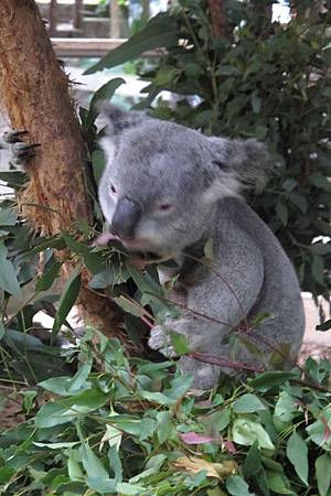 1-2014.06.15-koala park (6)