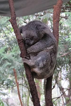 1-2014.06.15-koala park (21)