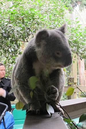 1-2014.06.15-koala park (23)