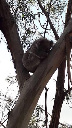 3.4-20160728-koala (7).jpg